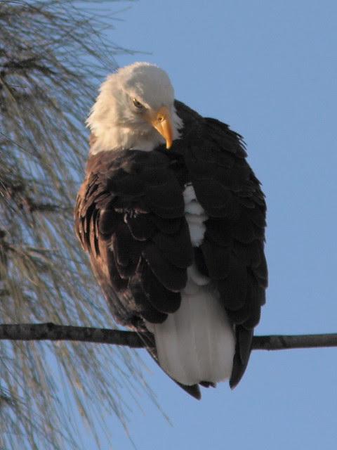 Bald Eagle roosting 5-20121207