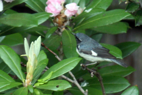 blue warbler 015