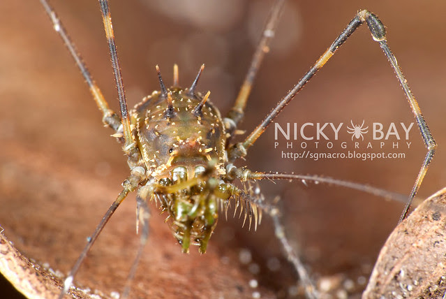 Harvestman (Opiliones) - DSC_0780