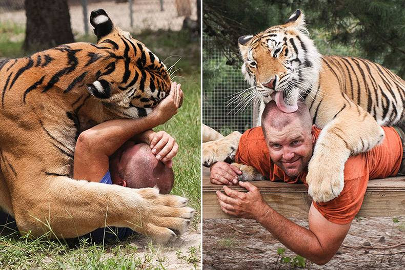 11 - Man playing like a kitten with massive tiger.