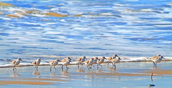 We're following the leader... Sandpipers in Goleta Beach ...