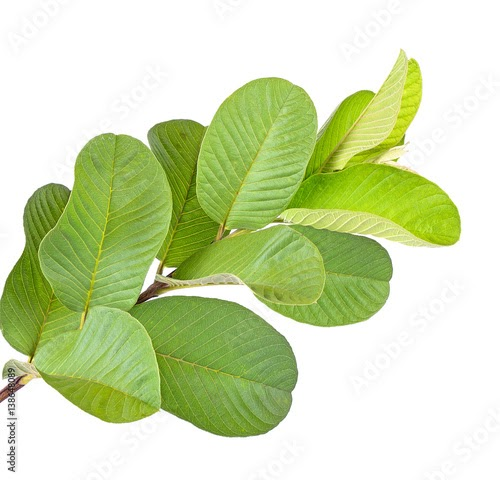 Amazing Health Benefits Of Guava Leaf And Fruits :