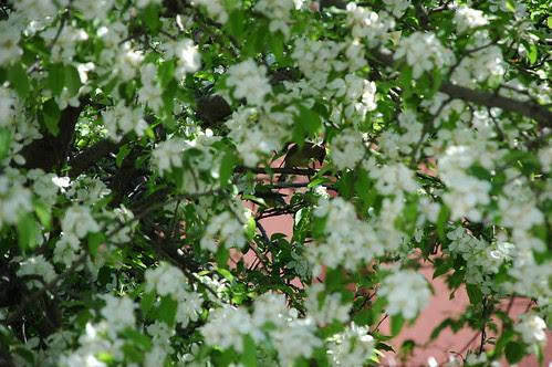 Cedar Waxwings in Apple Tree