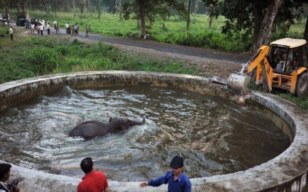Retroescavadeira é usada para resgatar elefante preso em 'piscina'