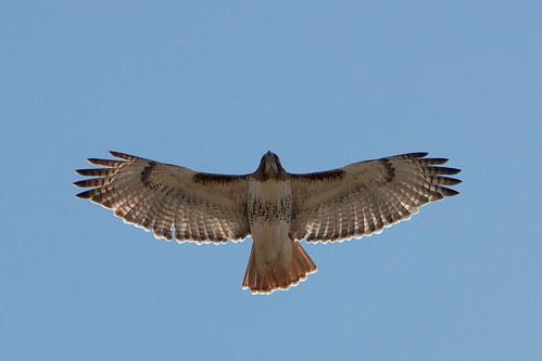 Red-tailed Hawk in flight by Josh Beasley