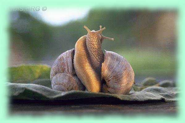 http://www.gireaud.net/images/snail_accouplement.jpg