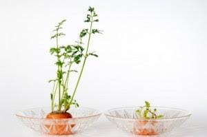 εύκολοι-τρόποι-για-να-ξαναφυτεύσετε-κορυφές-από-καρότα