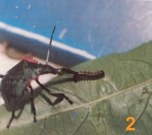 Hemiptera devorando lagartas num pé de maracujá - 02