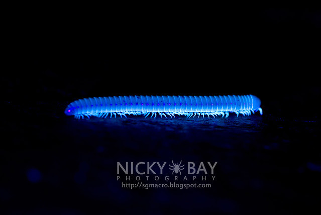 Millipede under ultraviolet - DSC_6279