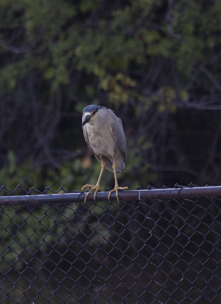 black crowned night heron2