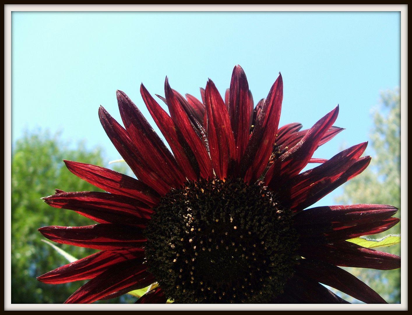 Prado Sunflowers by Angie Ouellette-Tower for godsgrowinggarden.com photo 011_zpsa0fa8cc3.jpg