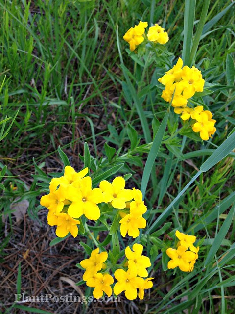 puccoon