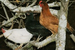 Chickens Roosting on a Tree