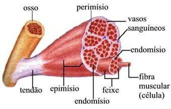 fibra-muscular