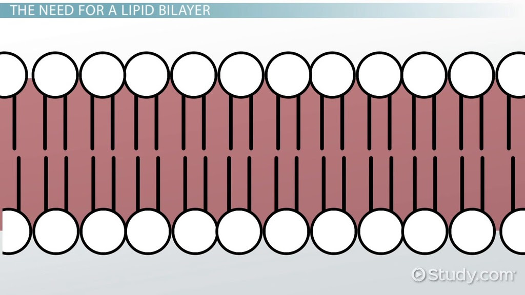 lipid bilayer definition structure and function1_114656