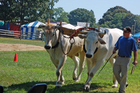 5winning-oxen-take-victory-lap.jpg