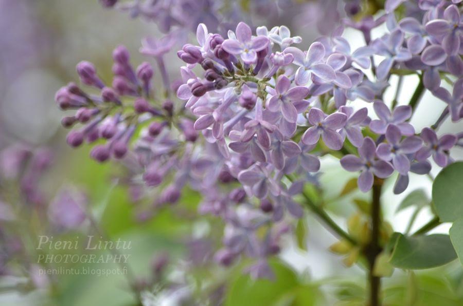Fri - June 7, 2013 - Lovely Lilac photo Fri-June72013-LovelyLilac_zps3e35c48a.jpg