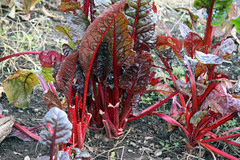 chard, red