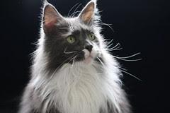 Ken and Helmi Flick's Maine Coon Cat - ZAK
