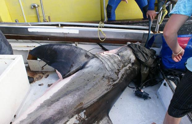 Tubarão de 500 kg pula dentro de barco na África do Sul (Foto: Oceans Research)
