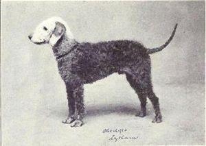 Bedlington Terrier from 1915