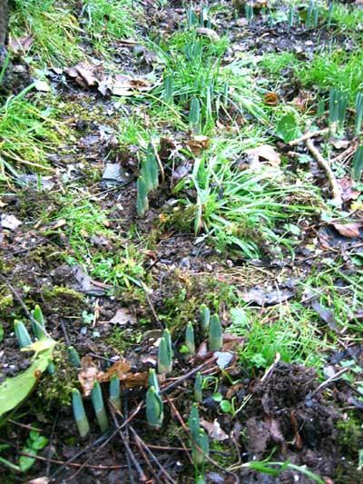 daffodilshoots.jpg
