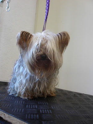 Frisuren Yorkshire Terrier