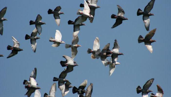 тренировка спортивных голубей