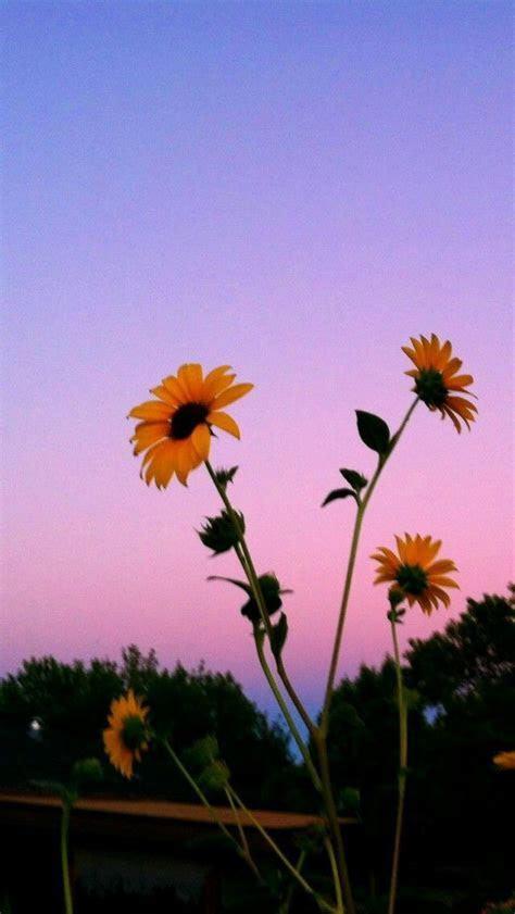 Pin by kels on plants   Sunflower wallpaper, Screen