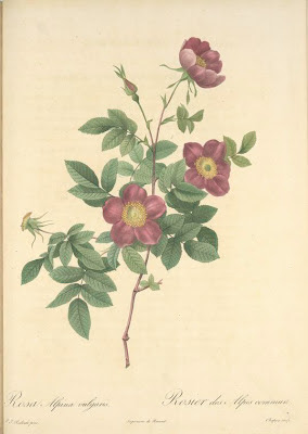 Rosa Alpina Vulgaris