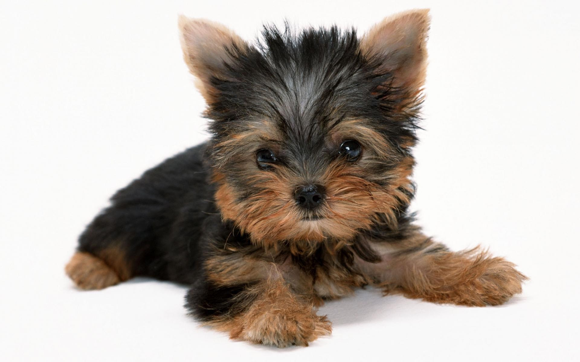 Yorkie Teddy Bear Haircut Pictures Wallpaper Yorkie Haircuts
