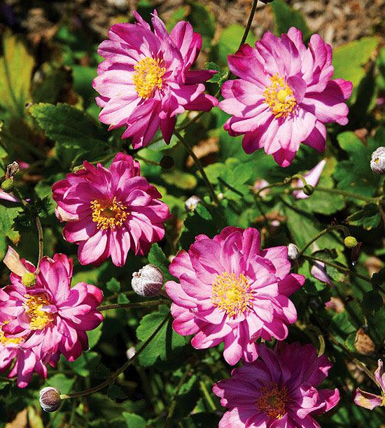 'Pretty Lady Julia' Anemone