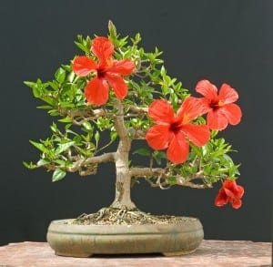 Hibiscus Bonsai