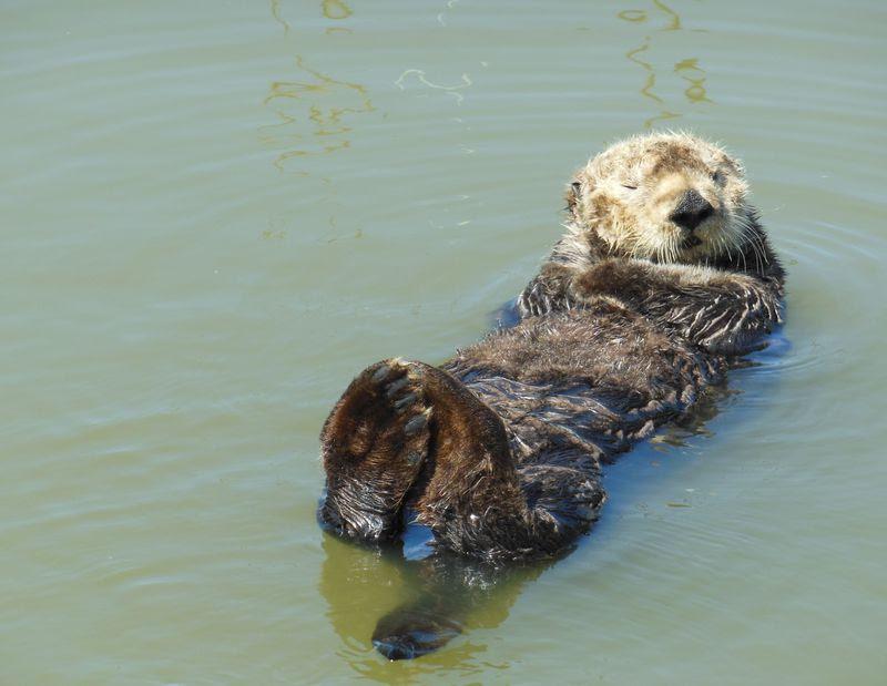 野生のラッコに会いに行こうカリフォルニアモスランディングの海へ