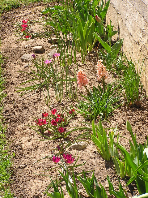 Spieces tulips