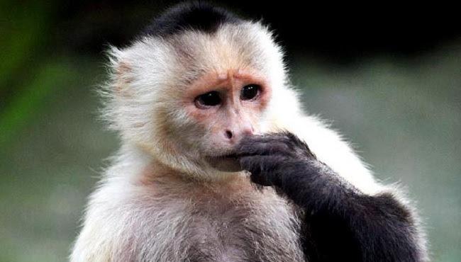 """Résultat de recherche d'images pour """"singes capucins"""""""