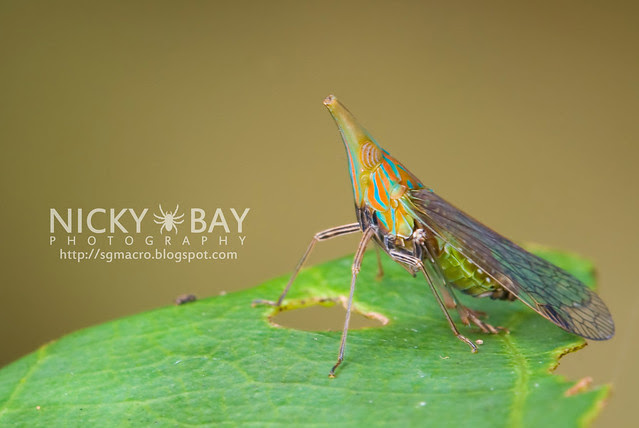 Planthopper (Fulgoromorpha) - DSC_9046