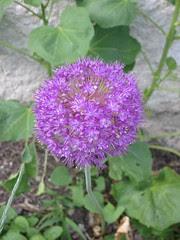 Allium?
