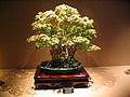 Bonsai IMG 6425.jpg
