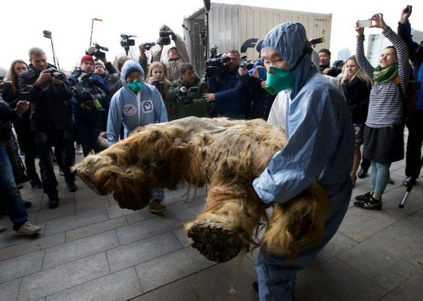 Russian Geographic Society staff members carry the body of baby mammoth to put on display in Moscow, Russia, Tuesday, Oct. 28, 2014. The 39,000-year-old baby mammoth is named Yuka, derived from the Yukagir coastline where she was found. Yuka was found four years ago in the Siberian permafrost and was between six and eleven years old when she died. Scientists call Yuka the best preserved mammoth in the history of paleontology.