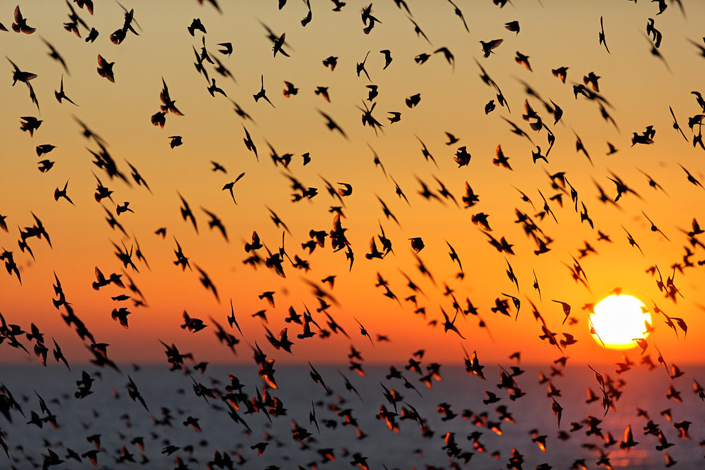 Starling Murmuration and Sunset, Brighton
