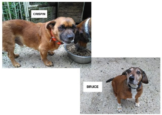 Bruce and Crispin – 9 and 7 year old male Cross-Breeds