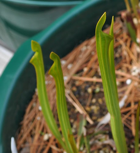 Sarracenia  unknown hybrid
