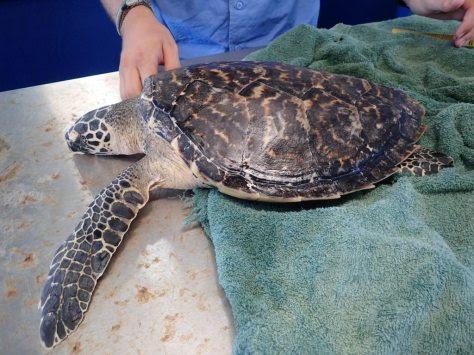 Hybrid turtle
