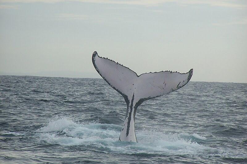 File:Humpback whale fluke (2).jpg