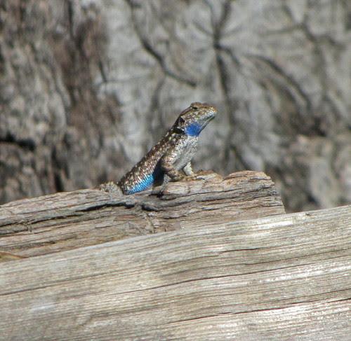 blue belly guarding perfect sun perch