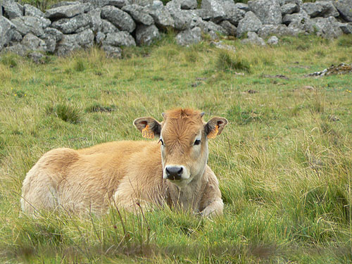 veau dans l'herbe.jpg