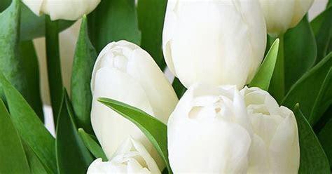 spring desktop  iphone wallpaper white tulips