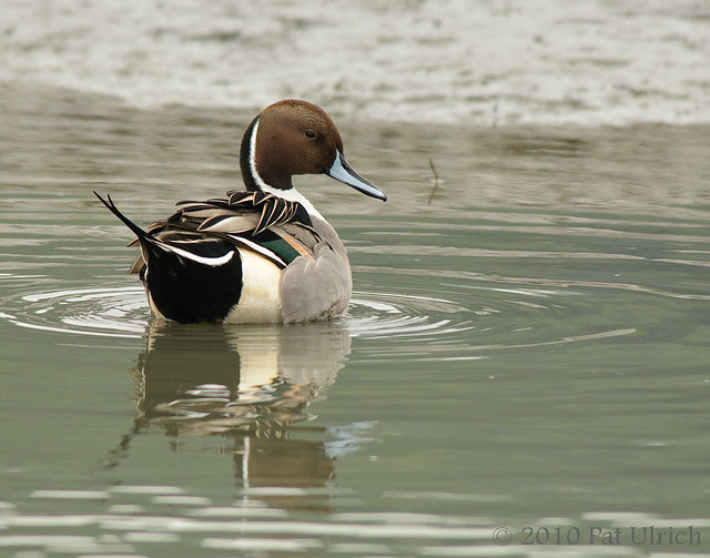 Northern pintail with reflection - Pat Ulrich Wildlife Photography