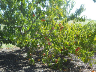 Nectarines on Trees